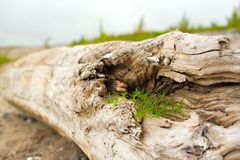 Old snag, lying on the grass by the sea. Royalty Free Stock Photos
