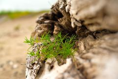 Old snag, lying on the grass by the sea. Royalty Free Stock Image