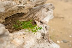 Old snag, lying on the grass by the sea. Stock Images
