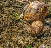Old snail with cracked shell Stock Photo