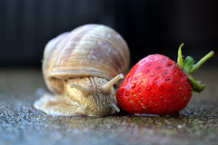 Old snail Royalty Free Stock Images