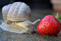 Old snail Stock Photos
