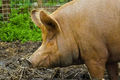 Old sow. An image of a ginger old sow or pig wallowing in her own faeces looking very happy stock photography