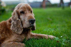 Old spaniel dog lying on the grass Royalty Free Stock Photos