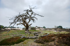 Old special shaped dramatic dead tree in a sand-like nature Stock Image