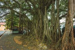 Ficus macrophylla giant tree. The old specimen of Ficus macrophylla giant tree in Asia, Sri Lanka Royalty Free Stock Images