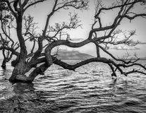 Old spooky tree..Spooky forest with dry trees. Spooky seascape with old tree on Maumere,Indonesia royalty free stock images