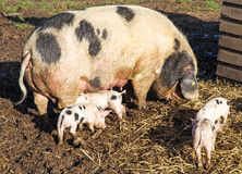 An Old Spot Sow Feeding Her Young Royalty Free Stock Photo