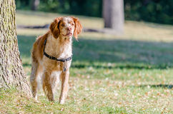 Old spotted Brittany Spaniel dog Stock Photography