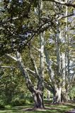 Plane Trees. Old spreading plane trees in a row royalty free stock photo