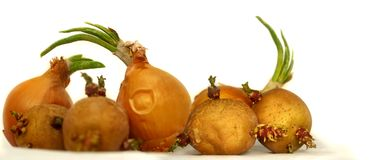 Old Sprouting vegetables potatoes and onions royalty free stock images