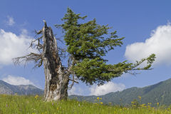 Old spruce Royalty Free Stock Photo