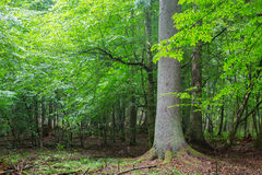 Old spruce tree against shady rich deciduous stand Stock Photography