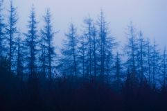 Free Old Spruce Trees In A Gloomy Foggy Forest Stock Image - 164139051