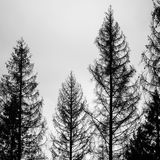 Old spruce trees, silhouettes over cloudy sky Royalty Free Stock Image