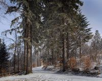 Old Spruces in winter time. Spruces in the winter season of the Beskidy mountains in Poland stock photo