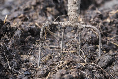 Old steel pitchforks in a pile of manure , fertilize fields Royalty Free Stock Images