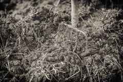 Old steel pitchforks in a pile of manure , fertilize fields. Vintage effect. Old steel pitchforks in a pile of manure , fertilize fields. Ukraine royalty free stock photography