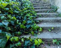 Old steps overgrown with ivy plant stock image