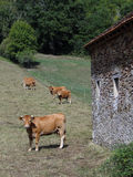 Old stone barn with cattle Stock Images