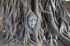 Old Stone Head Buddhist statue trapped in tree Royalty Free Stock Images