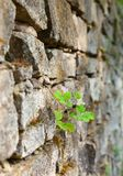 Old stone moss-grown masonry with greater celandine Stock Photo