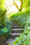 Old stone stairs with ivy Royalty Free Stock Image