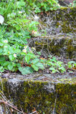 Old stone stairs with ivy Stock Photography