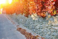 An old stone wall along a rural road on which hangs and clings autumn yellow and orange-red vine with leaves.  Stock Image
