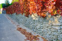 An old stone wall along a rural road on which hangs and clings autumn yellow and orange-red vine with leaves.  Stock Photo