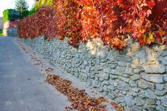 An old stone wall along a rural road on which hangs and clings autumn yellow and orange-red vine with leaves stock images