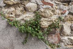 An old stone wall brown,white, black large stones with green grass . Classical masonry walls of medieval castles in Europe. Stock Photos