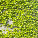 Old stone wall covered by Common or European Ivy, Hedera helix, background texture close-up, selective focus Royalty Free Stock Images