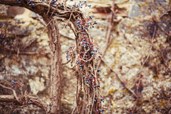 An old stone wall covered with drying wild grapes Stock Photography
