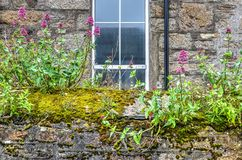 Ancient stone wall covered with vegetation. Old stone wall covered with moss, flowers and other vegetation, in front of another stone wall with a window and Stock Image