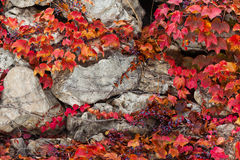 Old stone wall covered vegetation. Photo Background. Royalty Free Stock Photos
