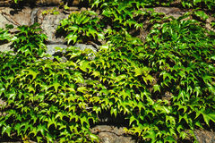 Old stone wall and green ivy Stock Photo