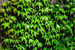 Old stone wall and green ivy Stock Image