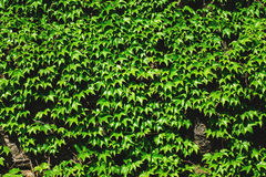 Old stone wall and green ivy Royalty Free Stock Photography