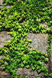 Old stone wall and green ivy Royalty Free Stock Image