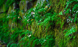 Old stone wall with green moss and plants. Stock Image