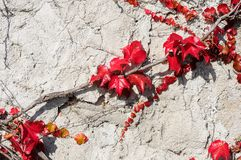 Old stone wall grown over with virginia creeper leaves Royalty Free Stock Image