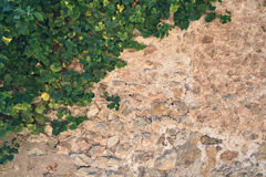 Old stone wall half covered by green ivy Stock Photo