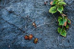 Old stone wall with ivy as background dried leaves, rose thorns, flowers royalty free stock images