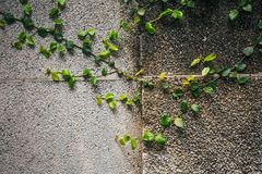 Old stone wall with ivy Royalty Free Stock Photo