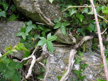 Old stone wall and ivy Stock Images