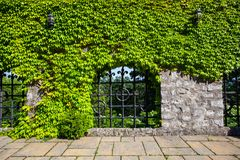Old stone wall with ivy of the Smolenice castle in Slovakia, Eur Stock Photography
