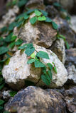 Old stone wall with leaves and moss Stock Image