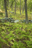 Old stone wall in open woodland of central Connecticut. Stock Image