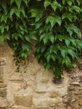 Green plant over wall Royalty Free Stock Image
